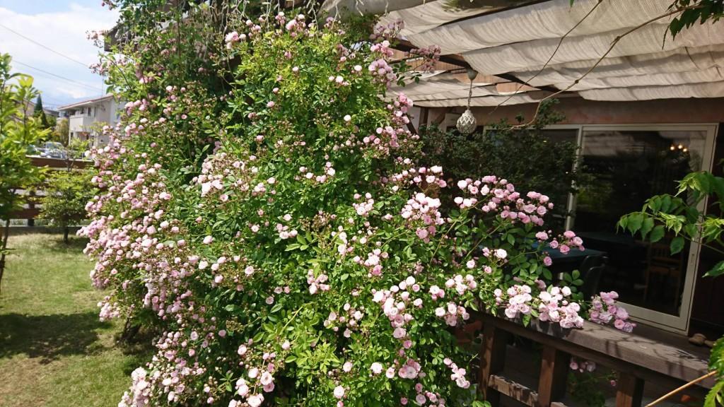 ウッドデッキ沿いに満開のバラ