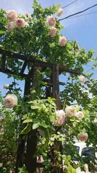 ポカポカ陽気でお庭のバラも元気に満開